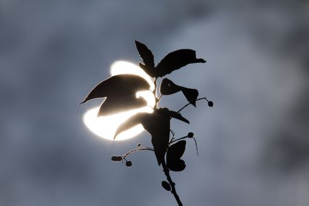 Branches of a tree on a background of a solar eclipse Stock Photo - 3374046