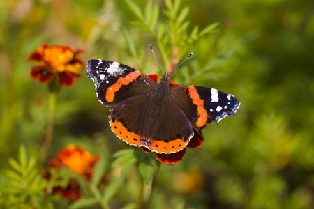 The butterfly in a sunny day on red flowers
