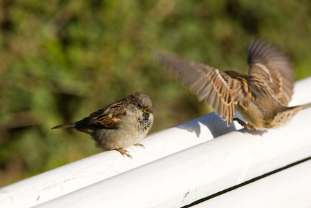 statics: Two sparrows on a bench - in a statics and dynamics Stock Photo
