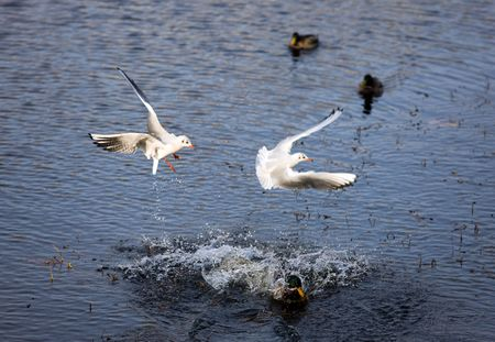 Seagulls in flight pursuing a duck in water photo