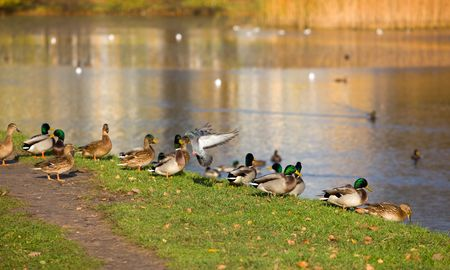 Coast of an autumn pond with flocks of birds photo