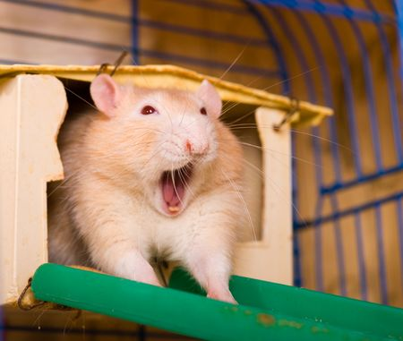 The red rat in a cage yawns after a dream photo
