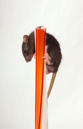 flink: Die kleinen schwarzen Baby Ratte clambers nach oben auf eine rote Vase