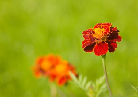 Red marigold close up in a sunny day photo