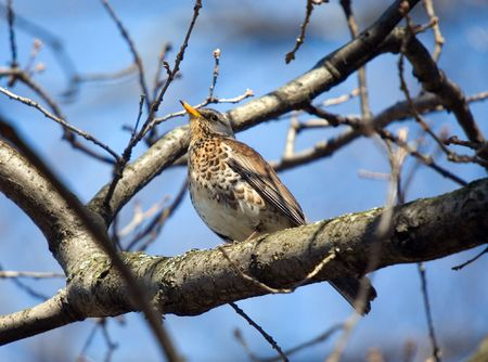 fieldfare on a tree branch in sunny spring day photo