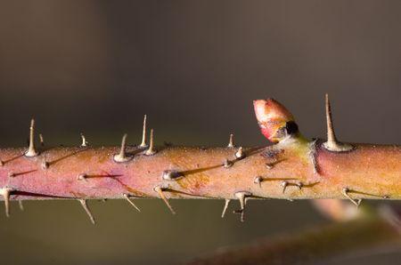 begining: Branch of dog-rose close up in spring begining