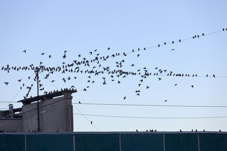 Very big flock of birds on a house roof photo