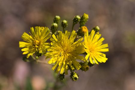 hawkweed: Inflorescence of hawkweed: yellow flowers and buds Stock Photo