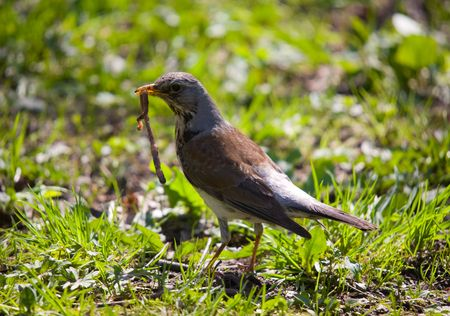 fieldfare with a worm in a beak on a grass photo