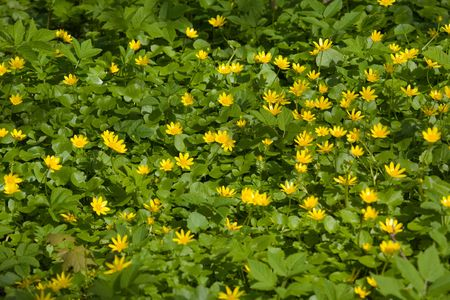 officinal: Caltha palustris - officinal flowers blossoming in the spring