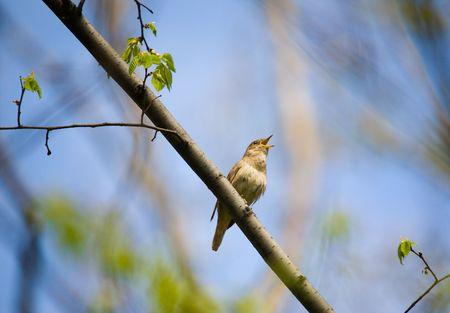 rossignol: Chant Rossignol sur branche d'arbre dans un bois de printemps