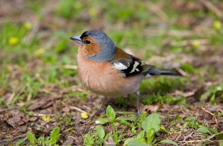 portrait of chaffinch in a grass close up Stock Photo - 4416718