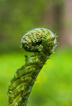 Green fern close up in the spring photo