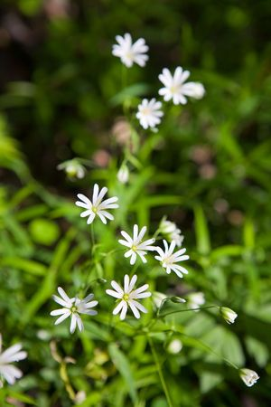chickweed: Stellaria: fragile small white flowers like stars in green grass