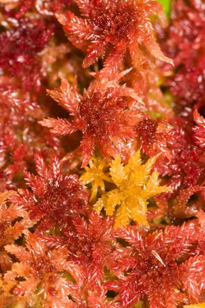 morass: wet red moss on a bog close up Stock Photo