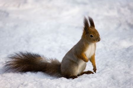 The squirrel on snow close up in the winter Stock Photo - 4499991