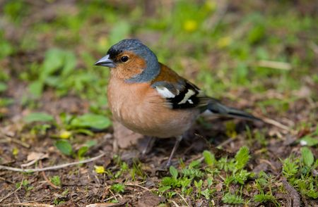 warblers: portrait of chaffinch in a grass close up Stock Photo