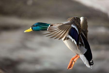 Flight of a wild duck close up