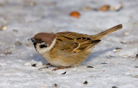 passer    by: Sparrow close up on snow (Passer montanus)