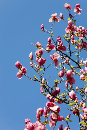 Blossoming branches of a magnolia in a spring garden  photo