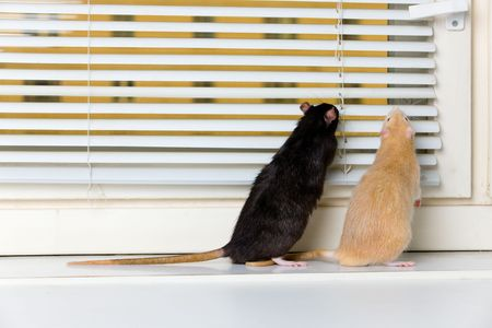 jalousie: Two rats look out in a window through jalousie