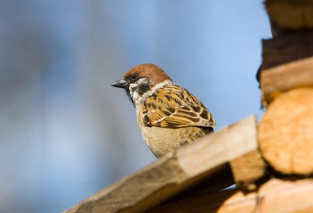 passer    by: Sparrow (passer montanus) on a wooden small house