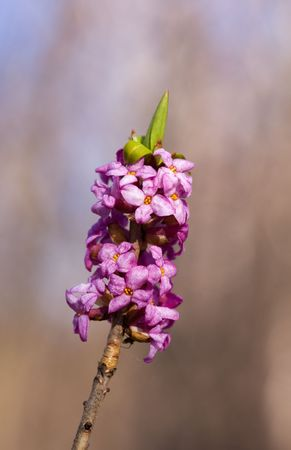 Blossoming daphne close up in the spring Stock Photo - 4797103