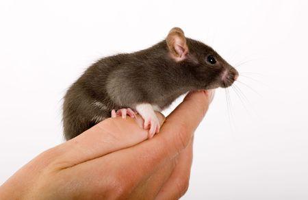 rata: Rata joven negro en un lado de la persona
