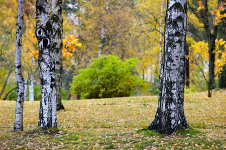 Autumn landscape in park with birches in the foreground photo