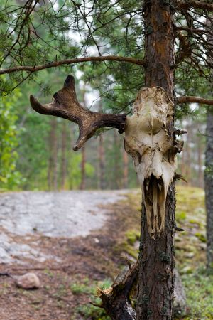 Skull of an elk on a tree in wood photo