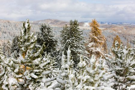 Trees under the first snow in mountains photo