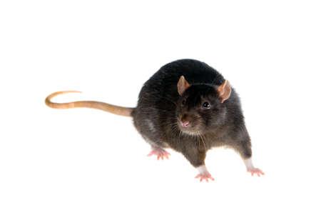 rat: Portrait of a black rat on a white background