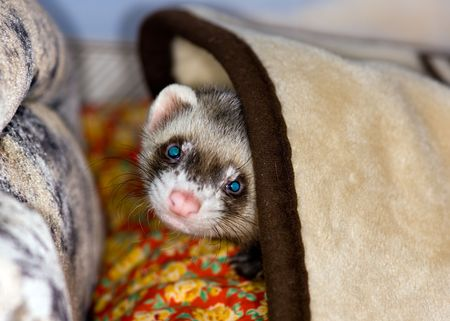 The domestic polecat plays on sofa in house Stock Photo
