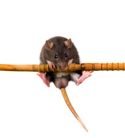 The funny  black baby rat pull itself up photo