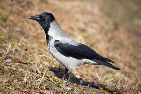 utmost: Portrait of a crow to the utmost
