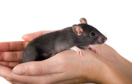 Young black rat in hands of the person photo