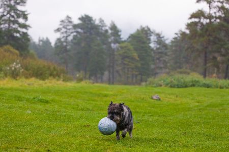 Puppy of a schnauzer playing with a ball on the nature photo