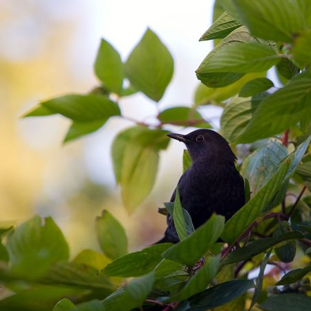 Blackbird in branches of a bush in the autumn photo