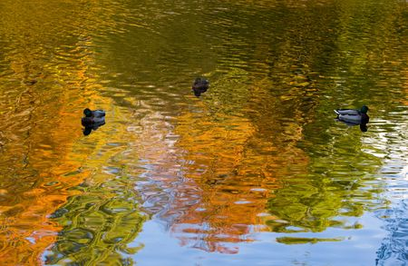 Ducks in water with reflections of autumn trees photo