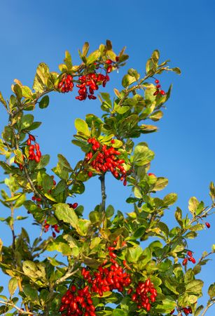 barberry: Autumn red ripe barberry against the sky