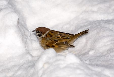 passer    by: Sparrow in a snow hole in the winter (Passer montanus)