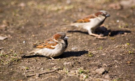 passer    by: Two sparrows (Passer montanus) in spring sunny day