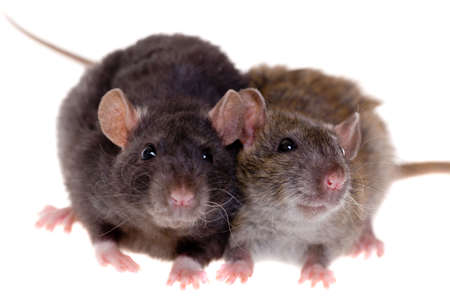 Two small domestic rats isolated on white photo