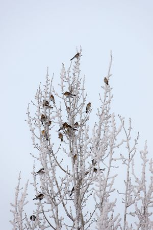 flock of birds on a snow-covered tree in cold day photo