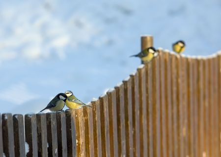 flock of titmouse on a wooden fence in the winter photo
