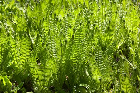 furl: Green spring background from ferns in sunny day