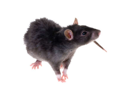rats: Giovane nero ratto close-up isolata on white