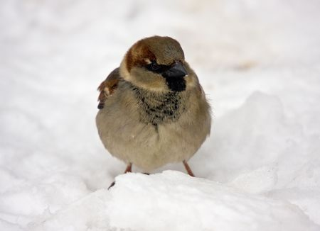 passer    by: Sparrow on snow close up (Passer domesticus)