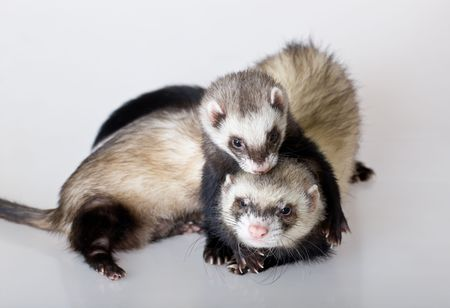 Two embracing polecats on a white background Stock Photo - 6377923