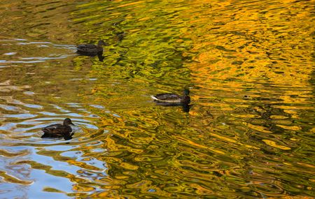 Ducks in water with reflections of autumn foliage photo